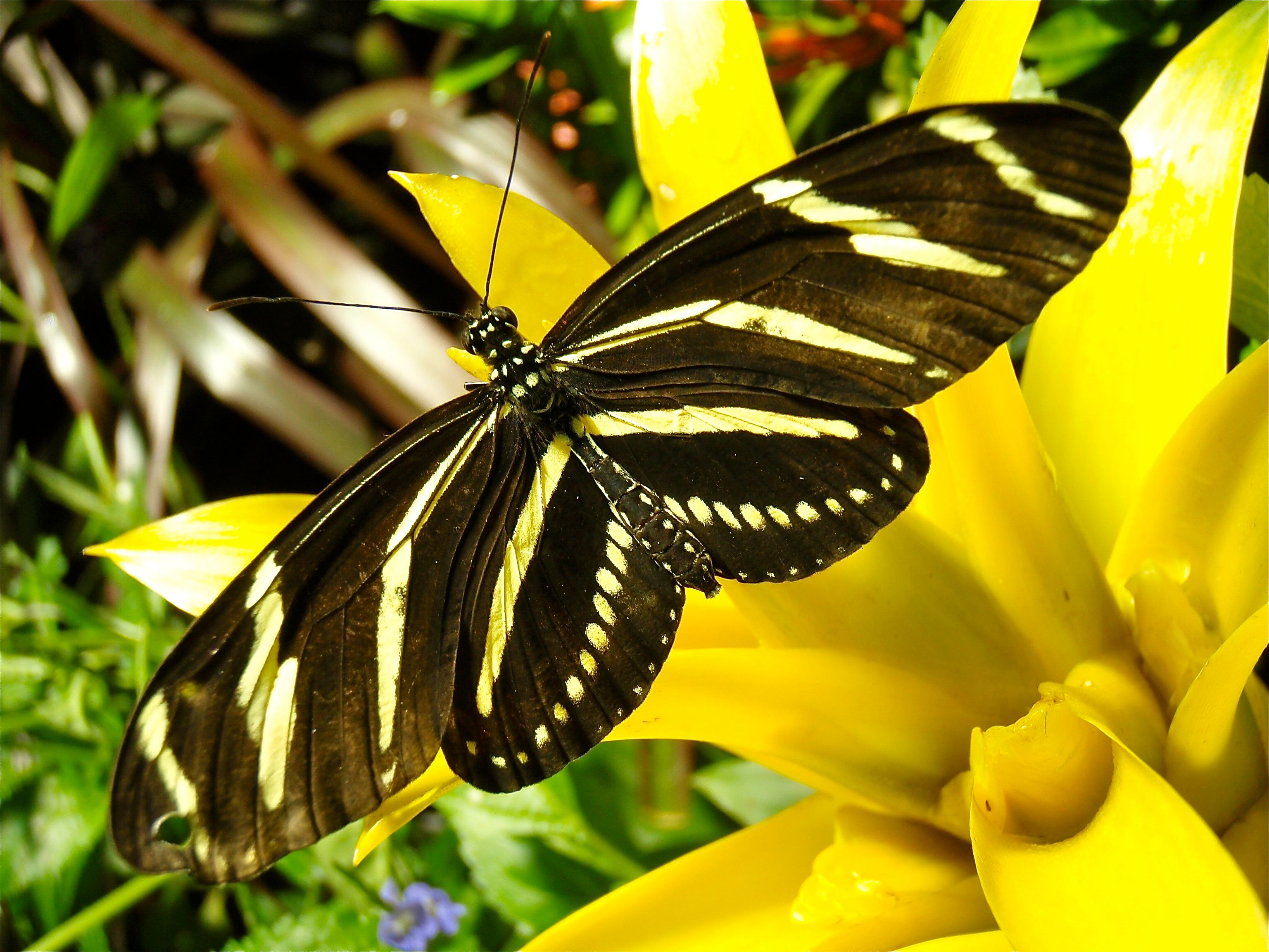 BEAUTIFUL...the Zebra Longwing is one of the species in the show Photo: AMNH/D. Finnin
